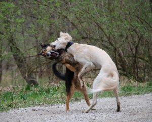 man of war dogs fighting